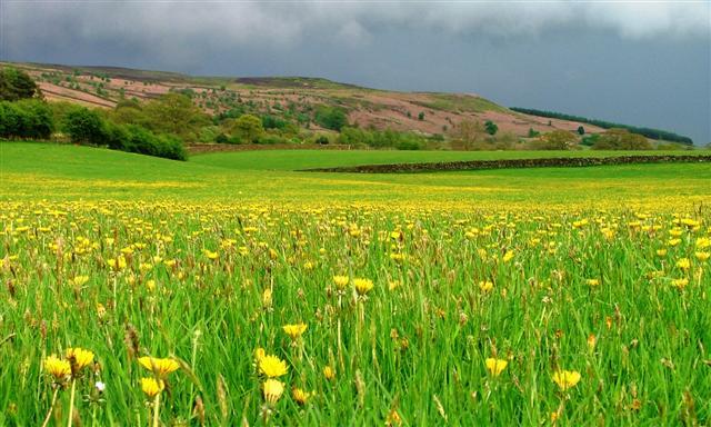 Dandelions and Stormy Sky, Bilsdale