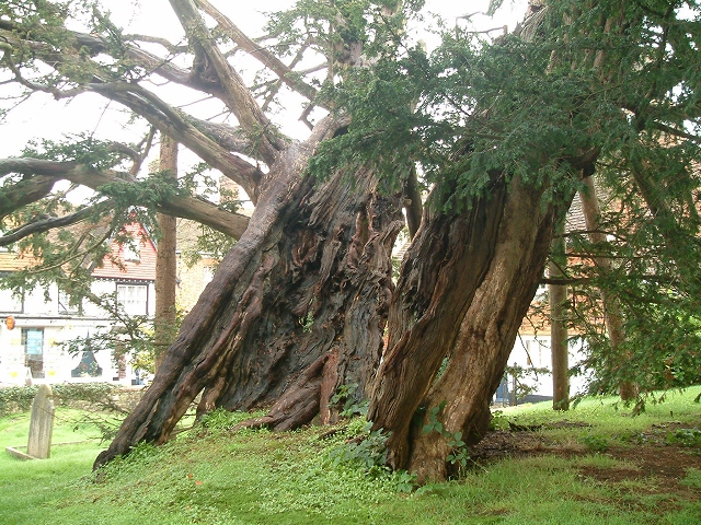 Yew Tree in Rotherfield Churchyard