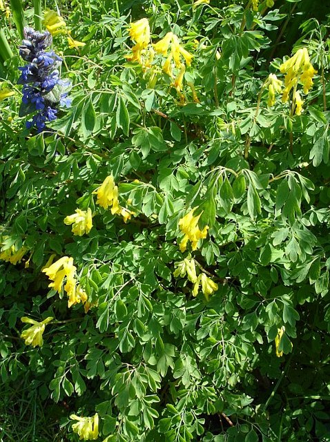 Bugle and yellow corydalis