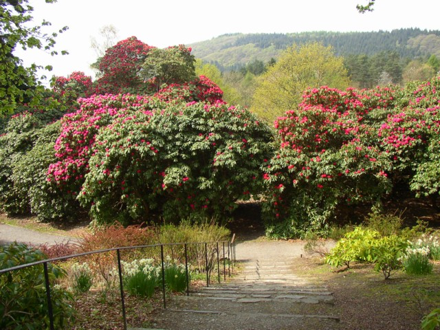 Rhododendrons, Fell Foot Park, Staveley-in-Cartmel