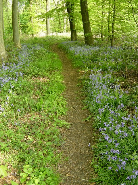 Bluebell-lined path, Closedown Wood