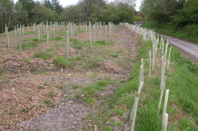 Sapling trees, Hansford