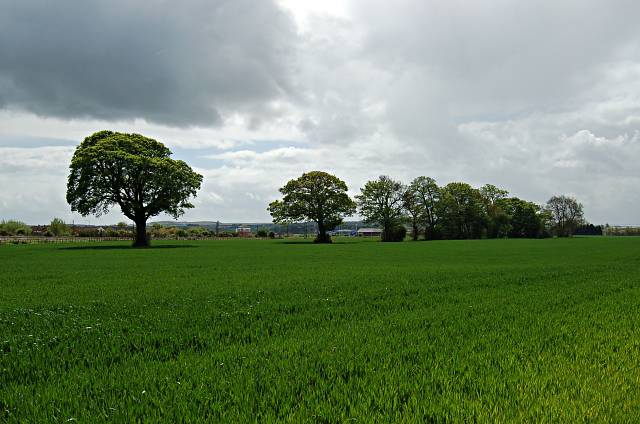 A stand of trees by Leuchars