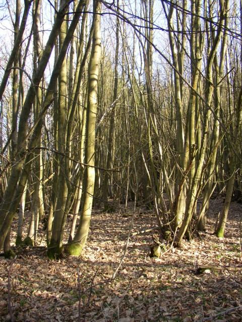 Coppiced trees at Hydon Heath, Hambledon