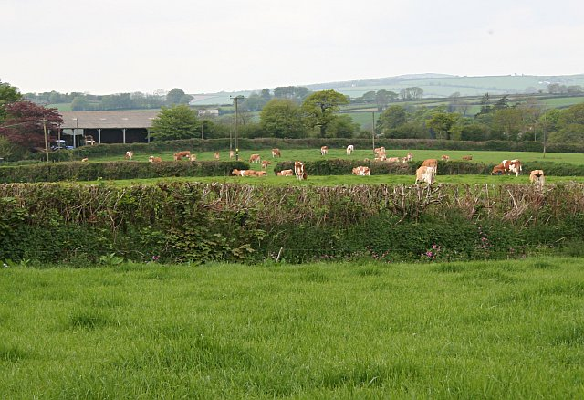 A Herd of Cattle at Tregartha Farm