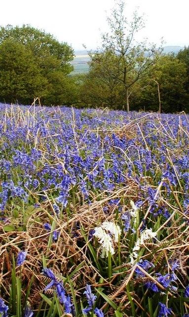 White Bluebells, Newton Woods