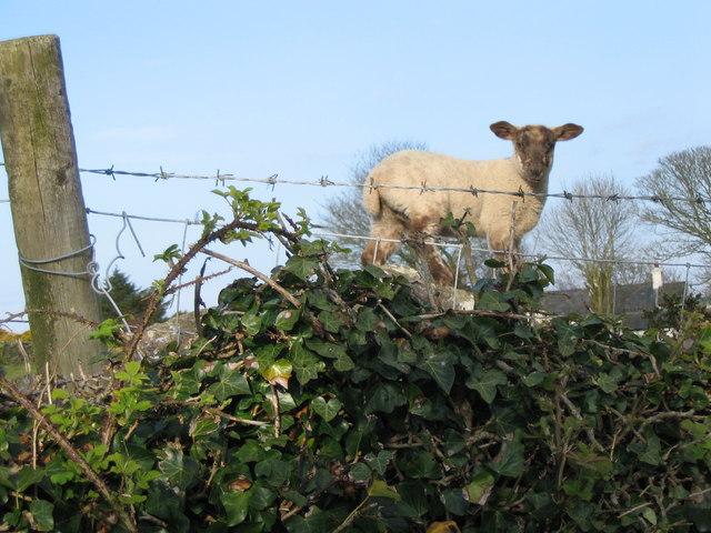 Welsh mountain lamb