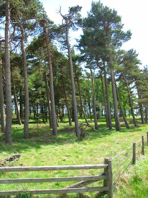 Pinewood on Hauxwell Moor