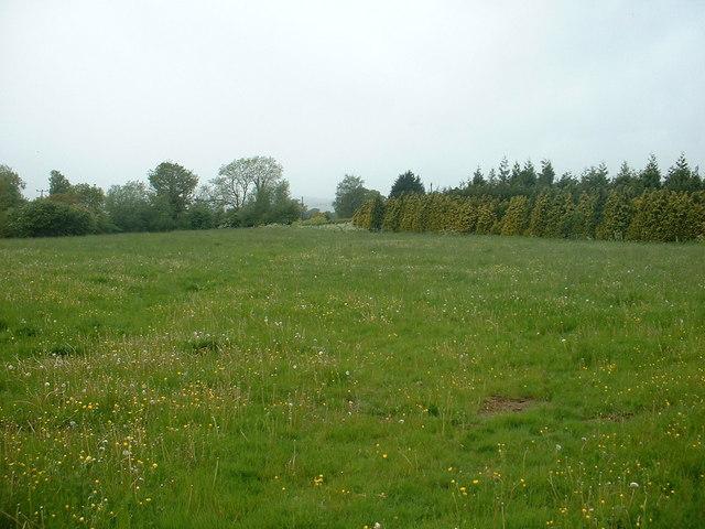 Dandelion field near Rowton