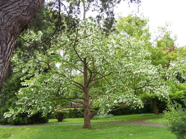 St Davida or Pocket Handkerchief Tree in bloom.