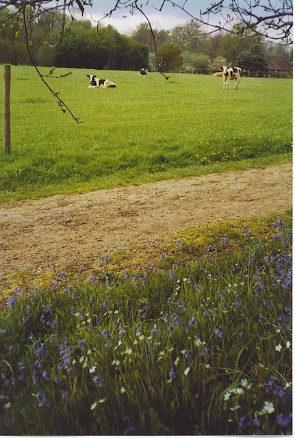 Cows Grazing by the Wey South Path.