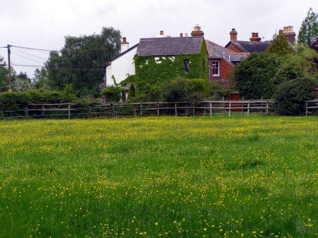 Buttercup field between Meerut Lane and Martins Road, Brockenhurst