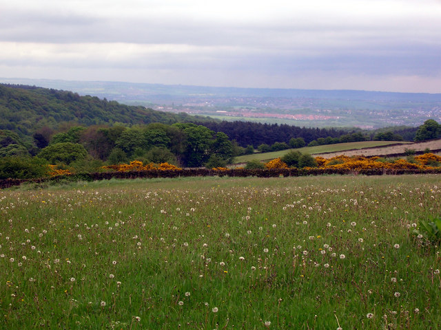 Dandelions and Gorse