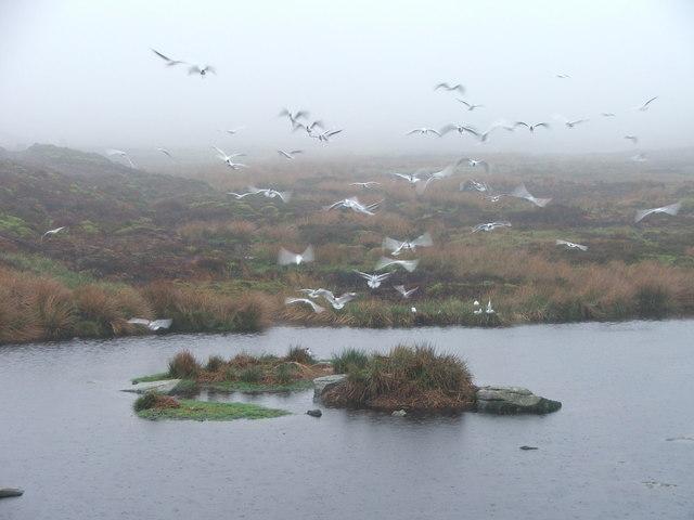 Gulls at reservoir at Gill Beck.