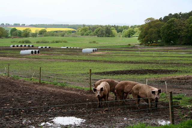 Pig rearing on the Strathmore estates