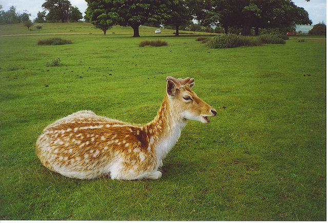 Fallow Deer, Knole Park.