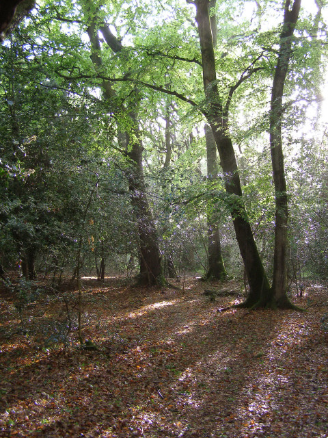 Woodland north of the North Gate, New Forest