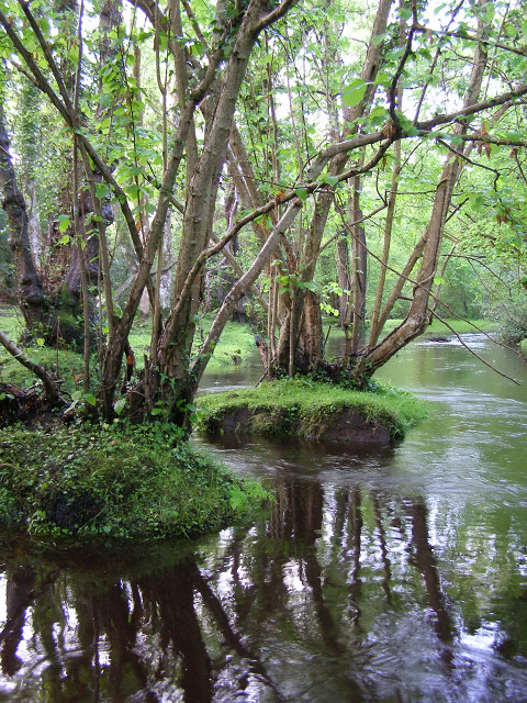 Alder trees in the Beaulieu River, New Forest