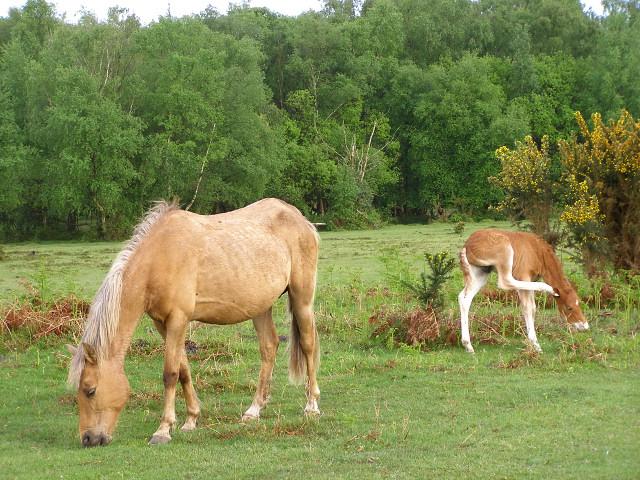 Pony and foal grazing at Gurnetfields Furzebreak, New Forest