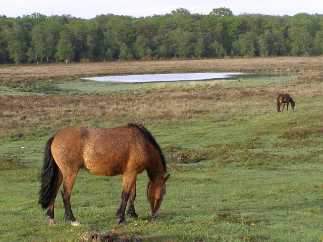 Ponies grazing south of Starpole Pond, New Forest