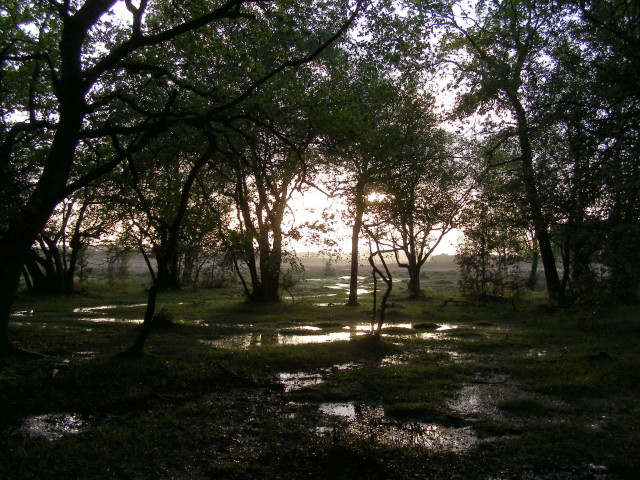 Woodland edge in the evening, New Forest
