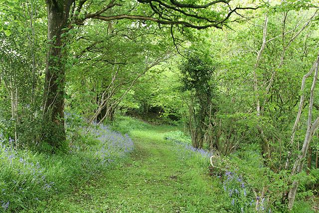 Hemyock: bluebell walk