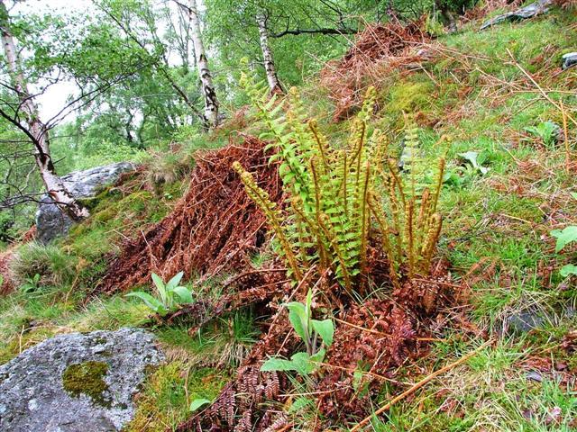 Fern in Woods below Birk Fell