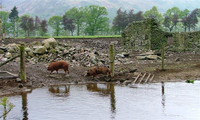 Pig Field, Beckside Farm