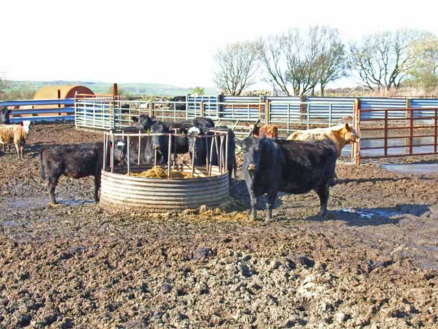 Cattle in the brown stuff