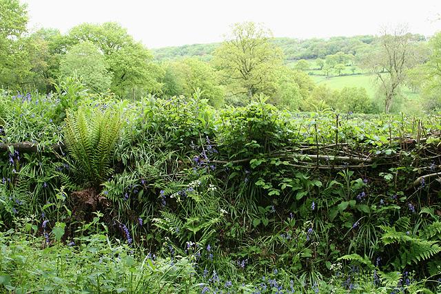 Churchstanton: hedgebank near Biscombe