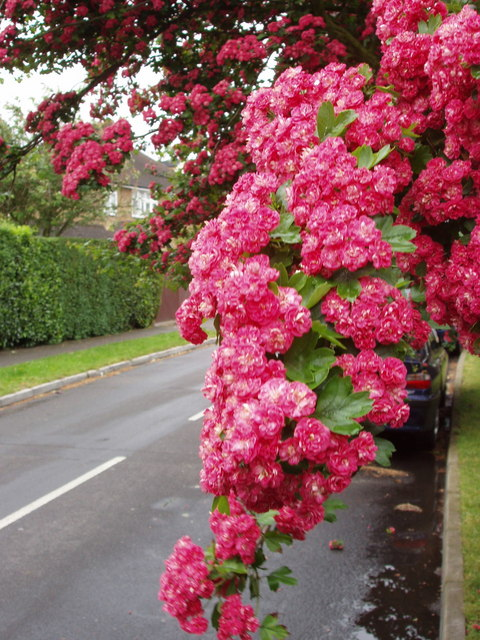 Ornamental thorn tree (Crataegus) in Woodham