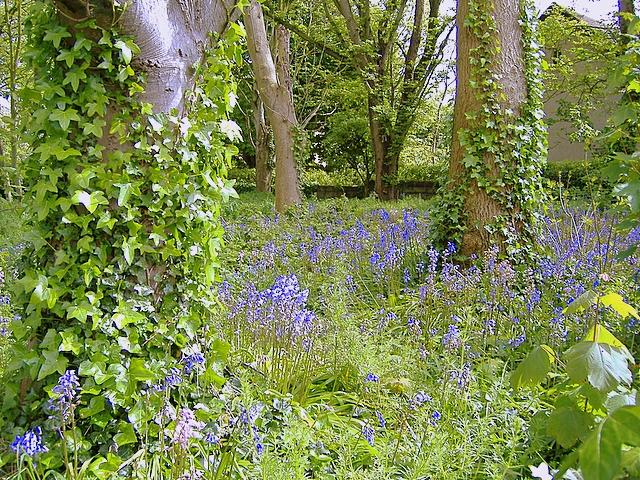 Bluebells and Ivy, Castletown
