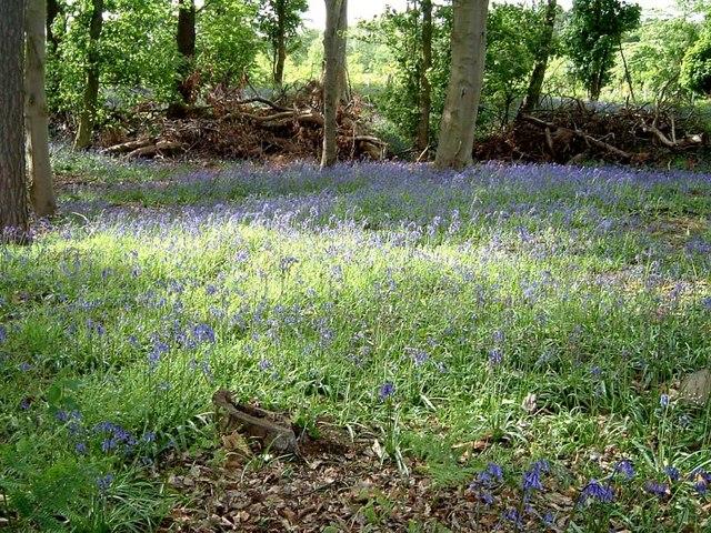 Bluebells in Rod Wood