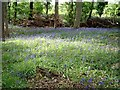 TL0034 : Bluebells in Rod Wood by Rob Farrow