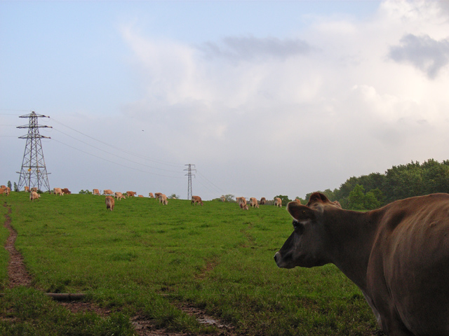 Cows at Goddard's Farm