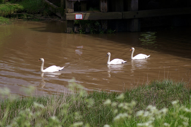 Swans on Barrow Haven