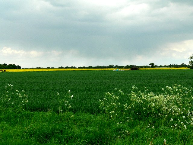 Fields of Wheat and Oilseed Rape