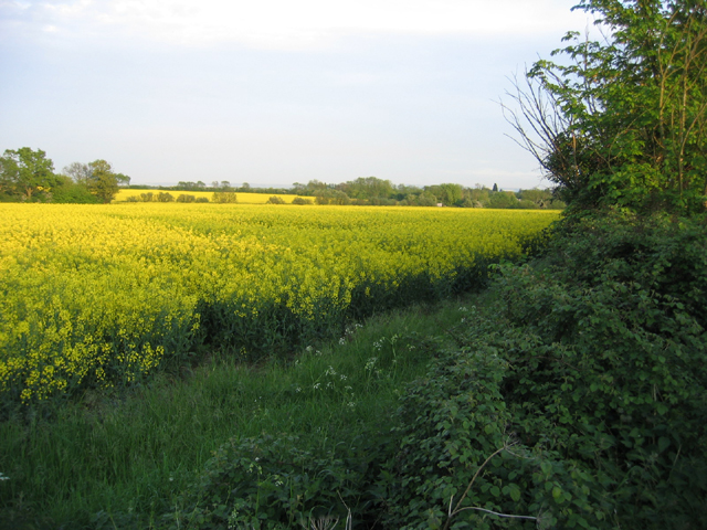 Farmland with oilseed rape, Wrestlingworth, Beds