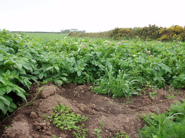 Potato field near Rinsey