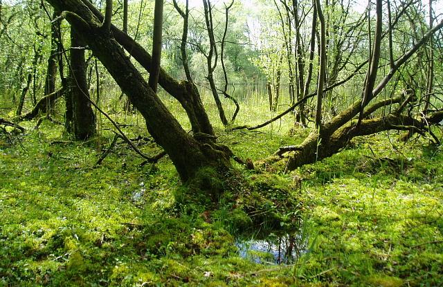 Boggy woodland