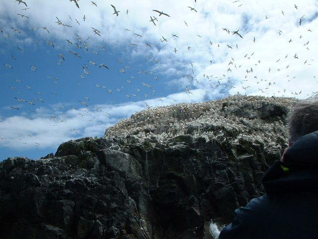 Gannets on Grassholm