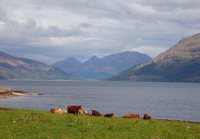 Cattle beside Loch Linnhe