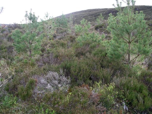 Regenerating pine forest, Glen Affric