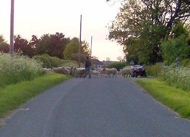 Sheep at Wescoe Hill