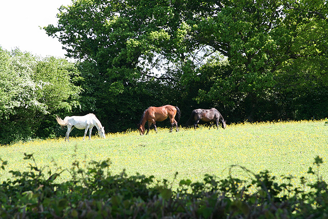 West Buckland: three horses grazing