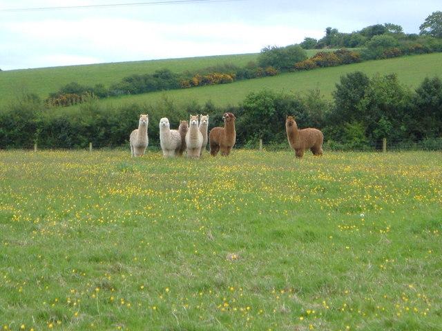 Alpacas at Lowton Farm