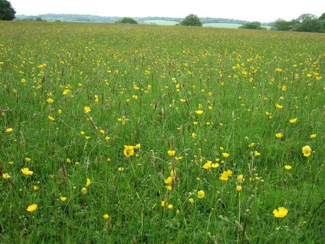 Buttercup Meadow, Hudnall