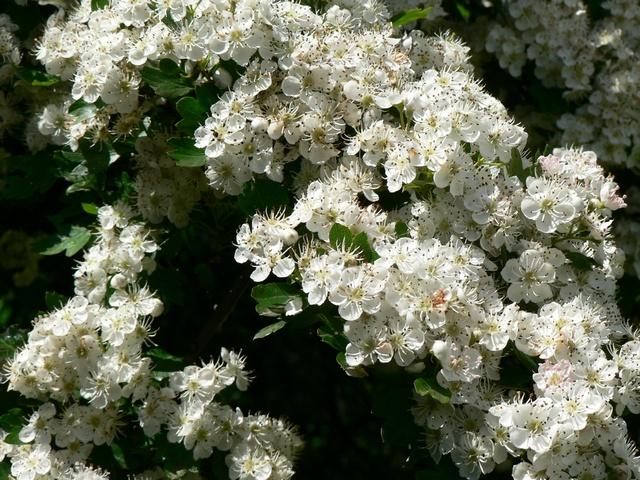 Hawthorn Blossom, Kirkstall Road, Kirkstall, Leeds