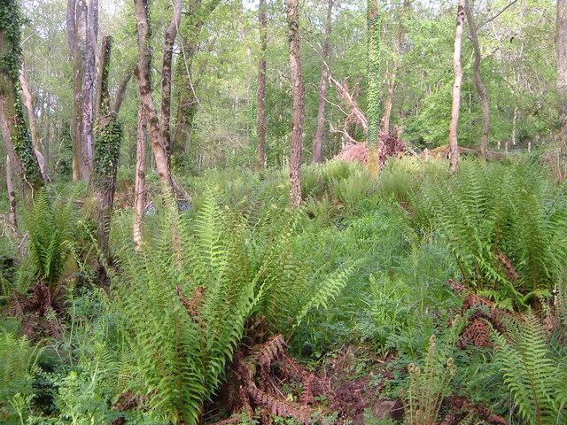 Ferns in Kilnfield Covert