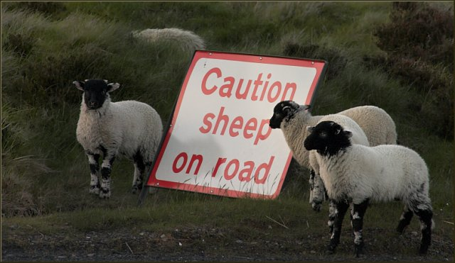 Sheep in Danger